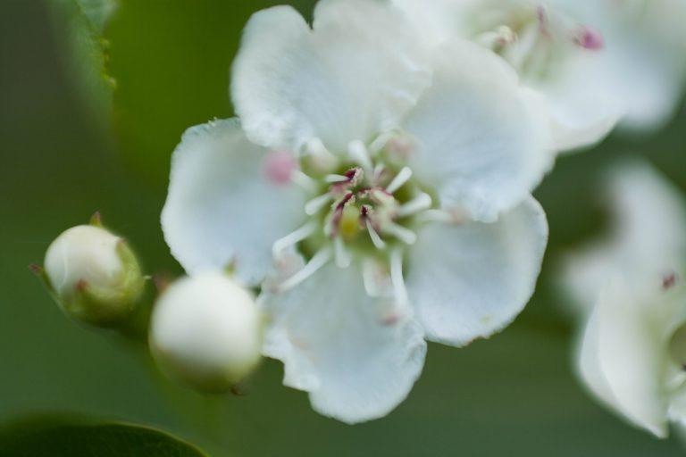 yesidostudio kwiat jabłoni